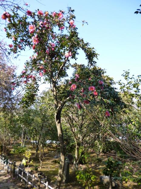 大木になった椿
