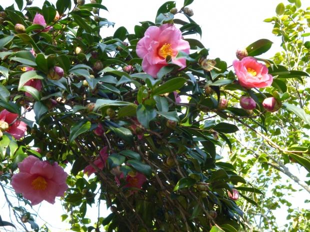 寒椿と冬牡丹を椿の里に見る(静岡市)