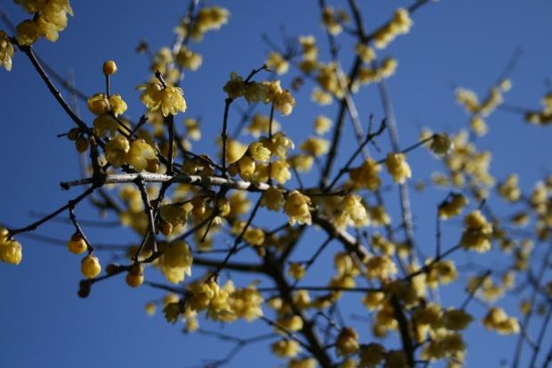 青空に蝋梅がきりっと咲いて