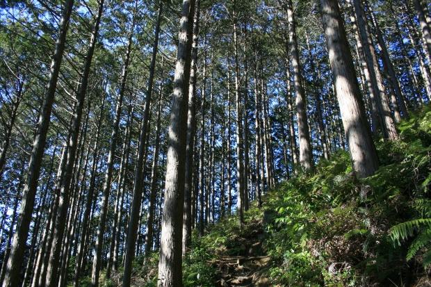 安倍城址への道は杉の林をぬける