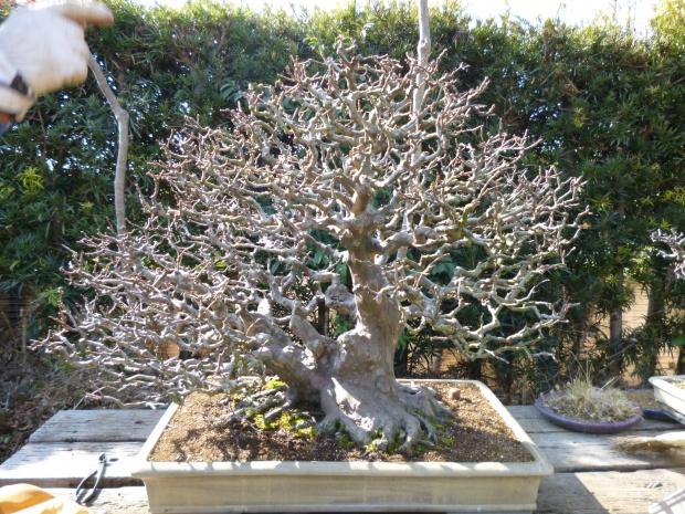 すばらしい花梨の盆栽