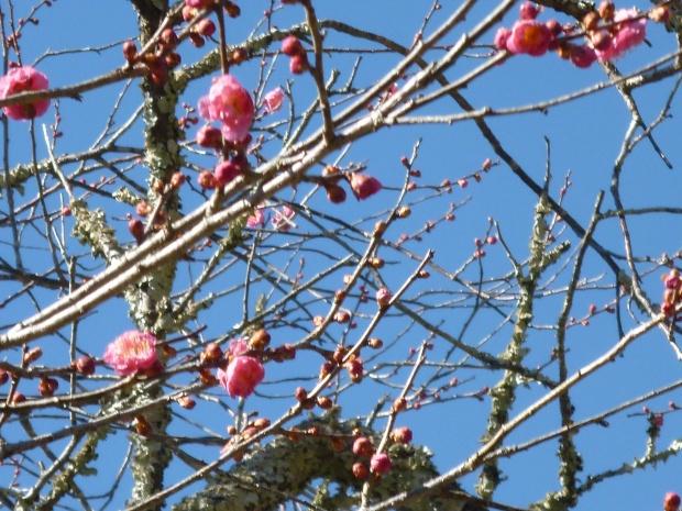 ちらほらと咲きだしている梅も