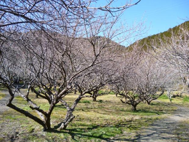 多くの梅はまだ固いつぼみ