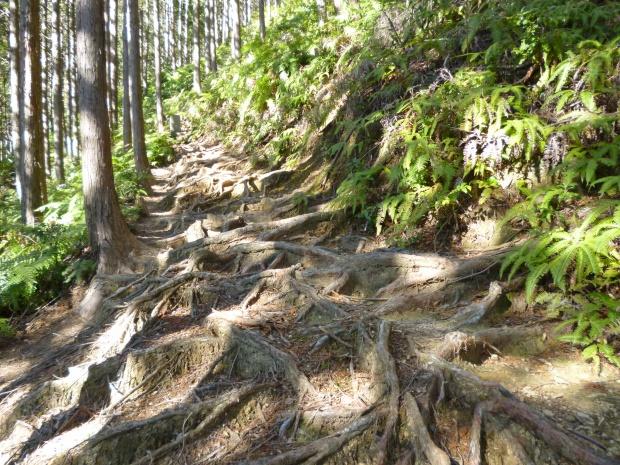 山への道は杉の根が張り