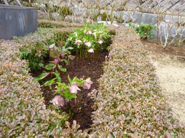 クリスマスローズが冬花壇を飾ります。