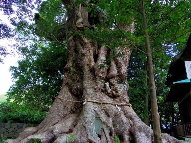 国指定天然記念物 大楠の幹