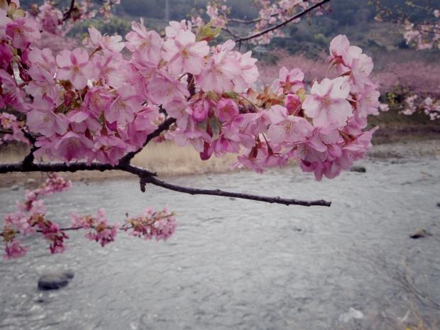 川の流れに花は映えます