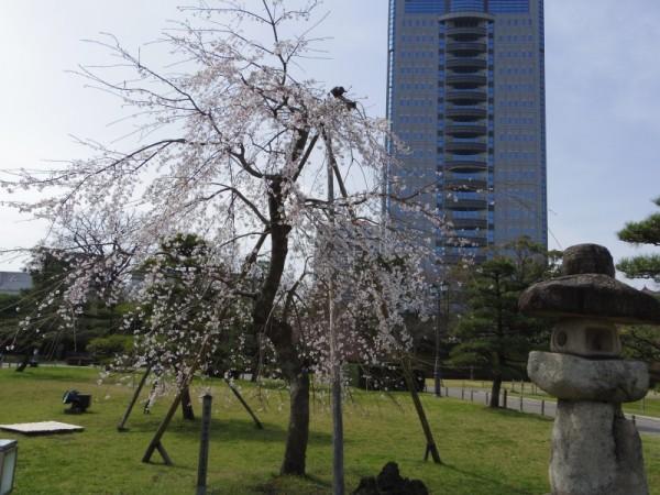 駿府城公園の枝垂れ桜も満開