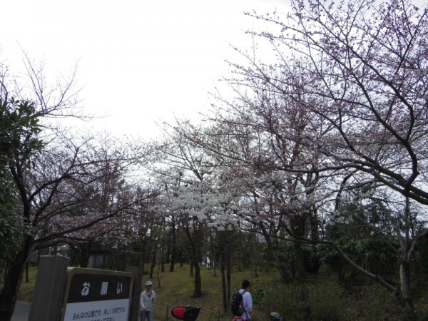 ソメイヨシノは3分咲き