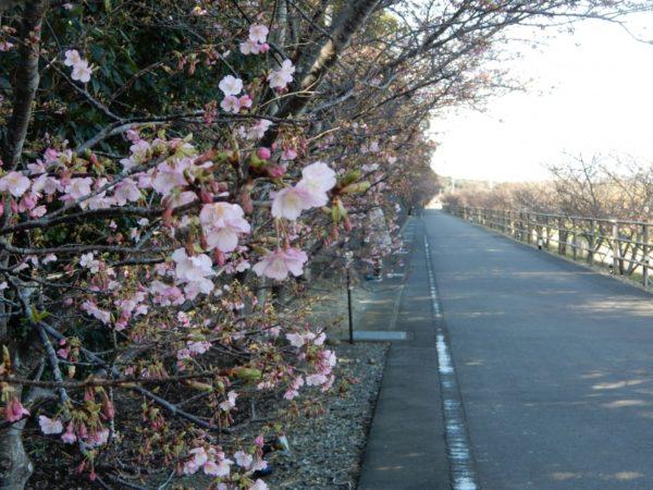 河津桜と菜の花(御前崎市)