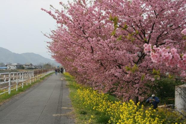 朝比奈川左岸の山の手さくら