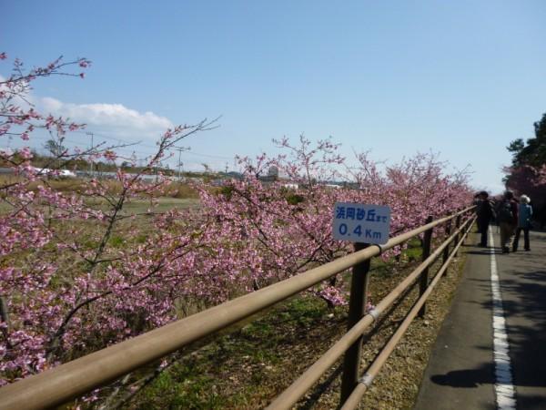 並木に植えられた桜はまだ若い