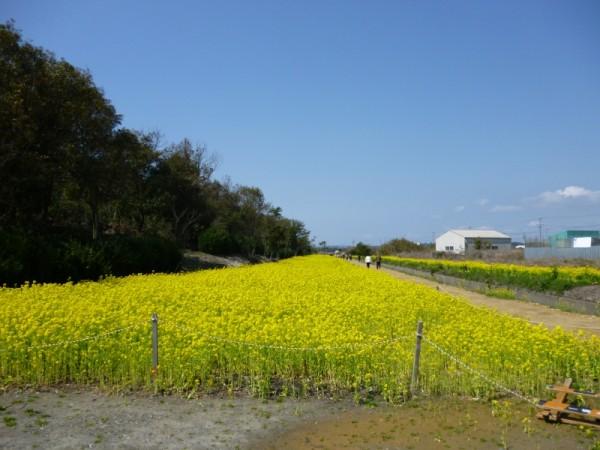 桜並木東側の菜の花畑