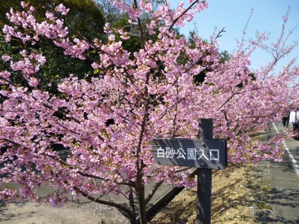 白砂公園入口の河津桜