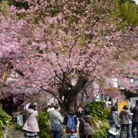 河津桜(東伊豆・河津町)河津桜まつり