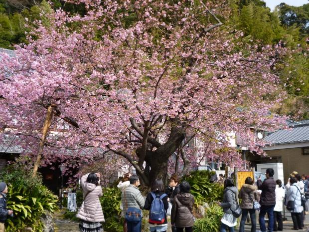 河津桜の原木は7分咲き