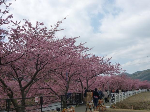 川べりに見事な河津桜が続く