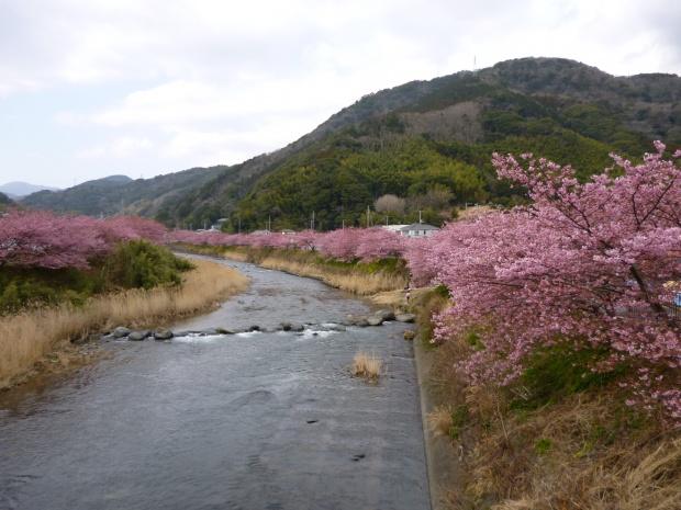 「かわづいでゆはし」からの河津桜