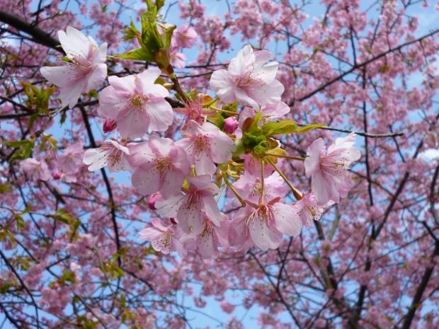 河津桜の花弁はピンクが濃くてきれい!
