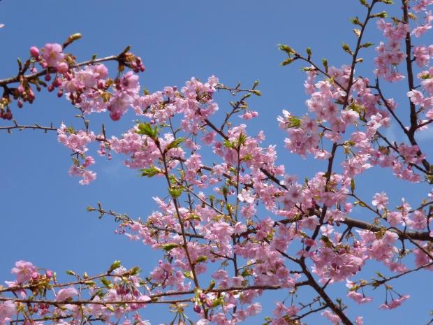 青空に咲く河津桜