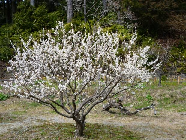 白梅の若木が満開
