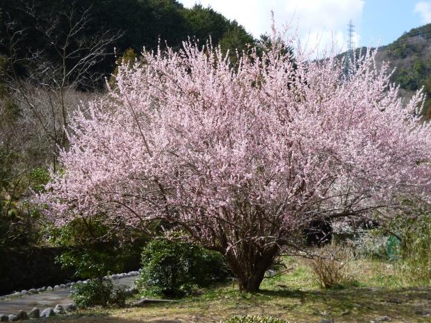 かなり古木の梅が満開