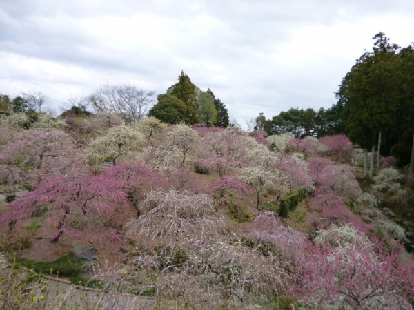 美しく山を彩るしだれ梅