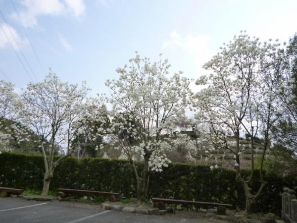 十輪寺境内横にある木蓮