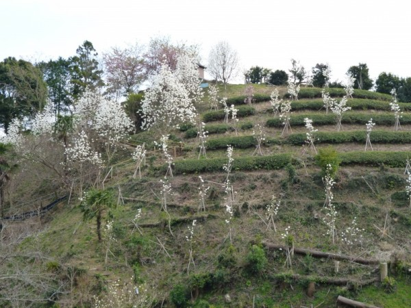 小高い山の斜面には小さな木蓮がたくさん