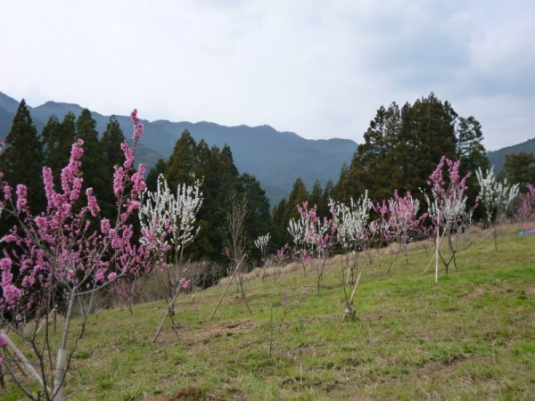 花桃の里ガーデンは花を成育中2
