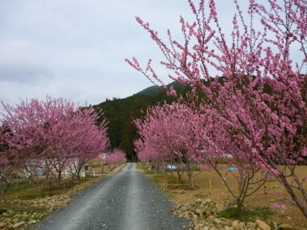 花桃の里ガーデンは花を成育中1