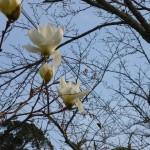 ハクモクレンの花は香りよく優しいですね。