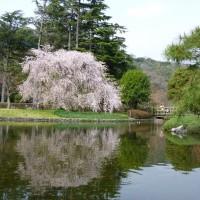 城北公園の枝垂れ桜(静岡市)