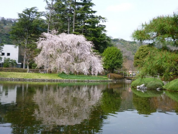 枝垂れ桜、池に姿を映す