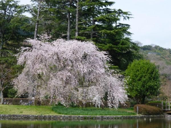 城北公園の枝垂れ桜