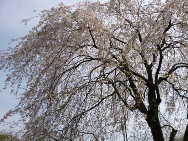 枝垂れ桜の枝は風に揺れ
