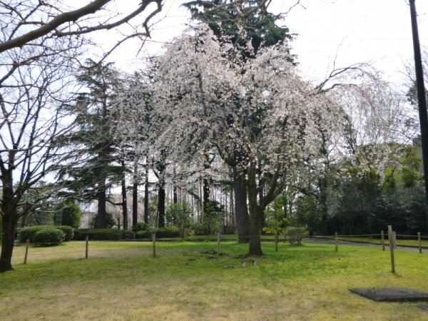 図書館裏にも枝垂れ桜