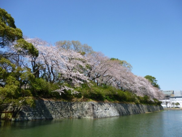 駿府城外堀の桜は7分咲き
