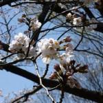 開き始めの桜