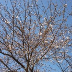 5分咲きの桜