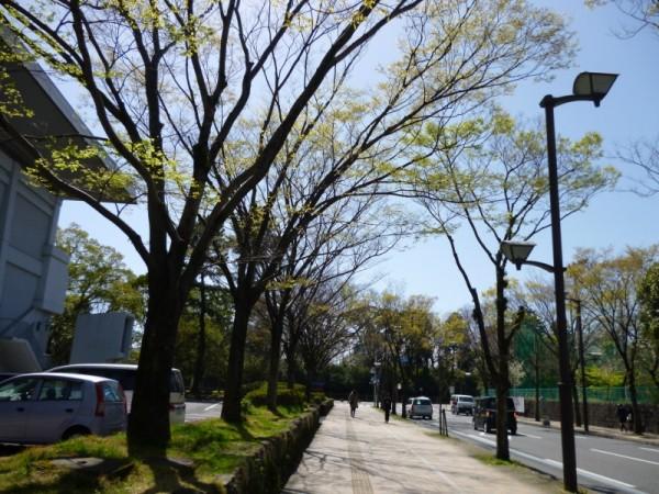 駿府城公園への道はケヤキが芽を吹いています