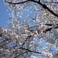 静岡市葵区 桜の名所(お花見スポット)