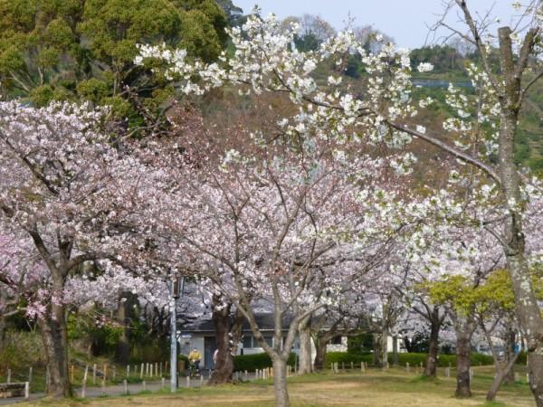 城北公園こども広場の桜1
