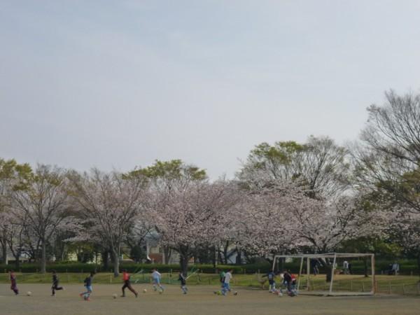 城北公園こども広場の桜2