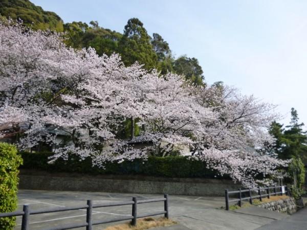 臨済寺の見事な桜1