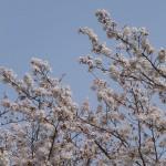 臨済寺の見事な桜2