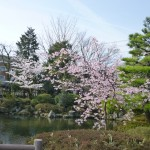 静岡浅間神社の池の桜
