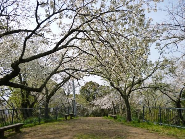 賎機山の古木の桜
