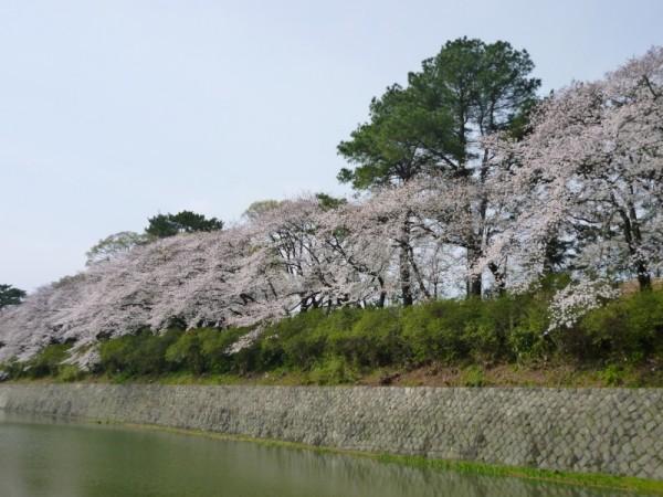 駿府城公園内堀の満開の桜