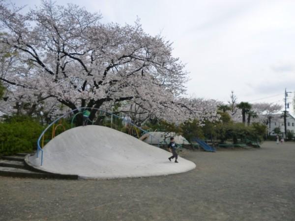 鷹匠公園の桜1